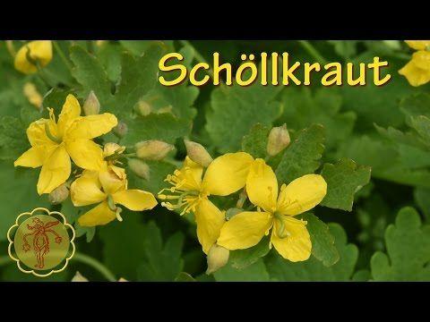 Schöllkraut- Kräuter.wmv - YouTube