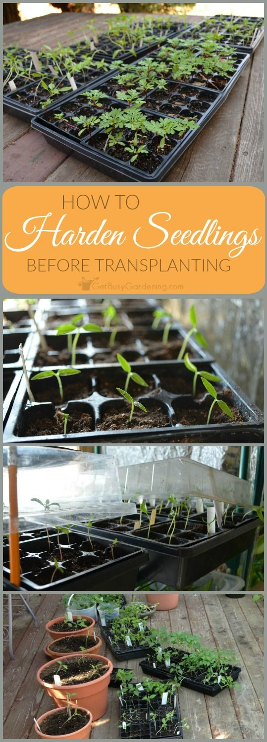 Taking the time to harden off seedlings will ensure that your seedlings will survive the transition, and thrive in your garden.