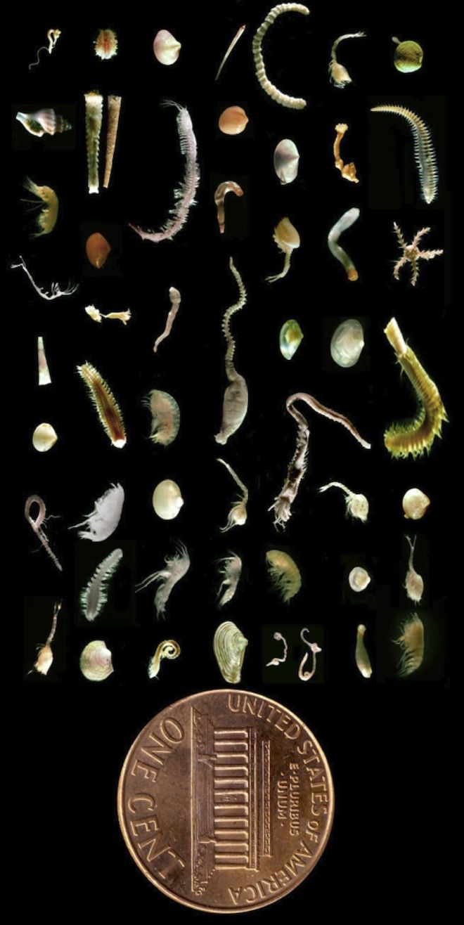 The Bounty of Species in a Single Scoop of Seafloor Mud by wired: A MERE HANDFUL of seafloor mud may contain as many species as are found in a square meter of tropical rainforest. The fantastic assemblage seen above was gathered from a single scoop of mud, about 2 inches deep and 5 inches across. #Science #Marine_Bioloby