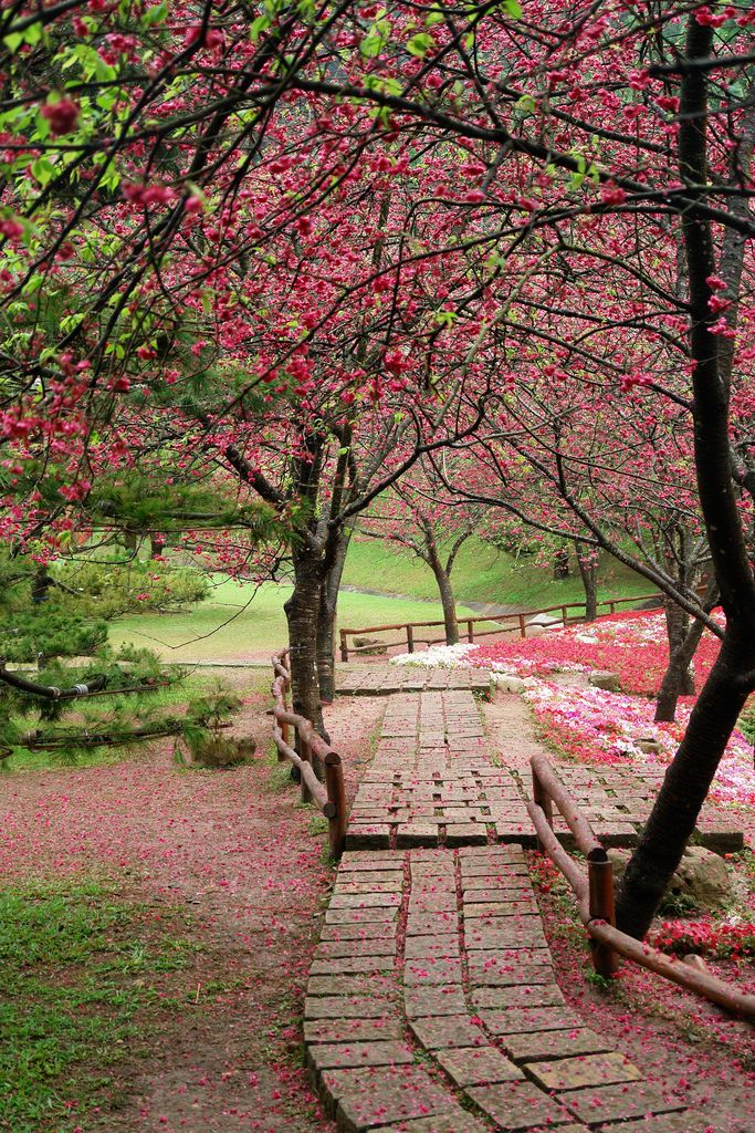 Cherry blossoms in Formosan Aboriginal Culture Village, Taiwan
