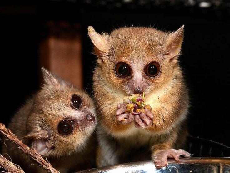 Dropbox - mouse-lemur.jpg