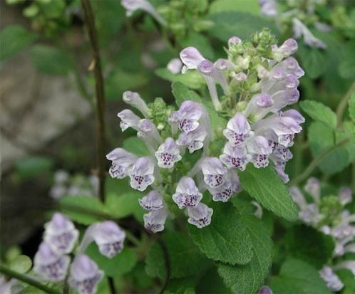 scutellaria barbata