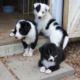 Before You Buy a Livestock Guardian Dog or Puppy - Homesteading and Livestock - MOTHER EARTH NEWS