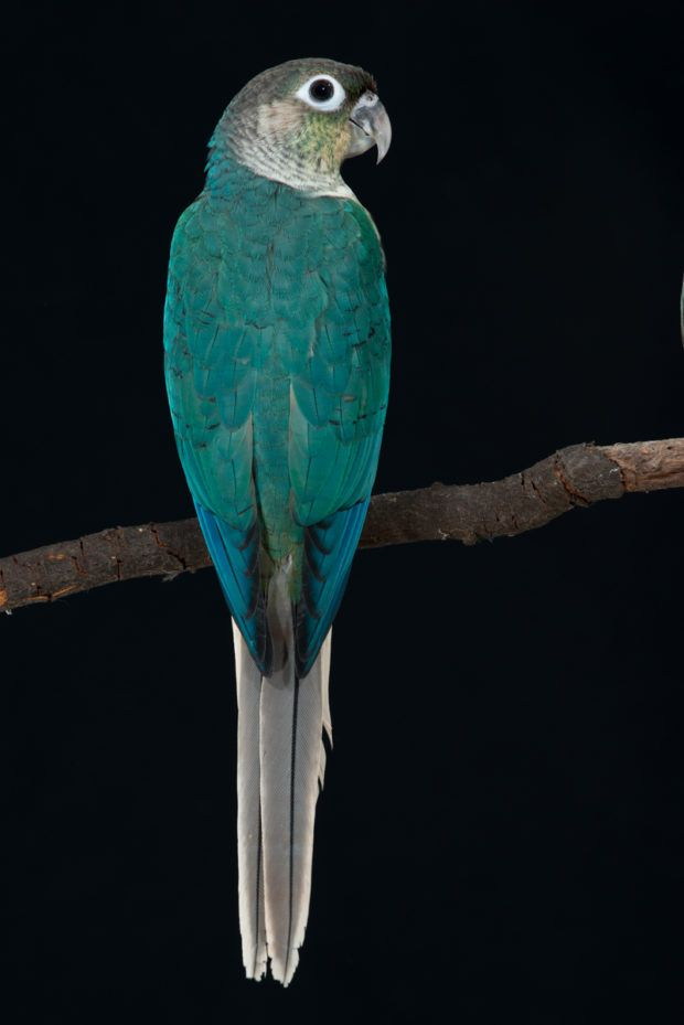 Turquoise Yellow-sided Green-cheek Conure | moline mutacije