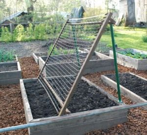 Old bed springs make perfect cucumber trellis.