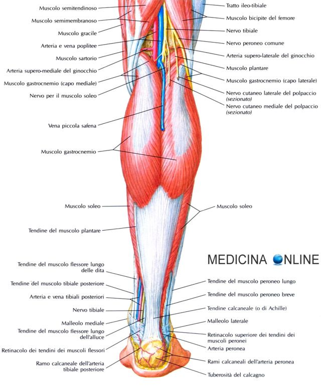arterie e vene del corpo umano