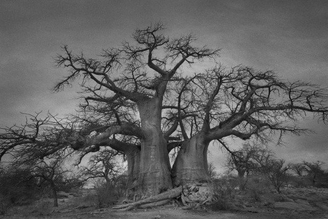 The Baobabs of Kubu Island 3 taken in Makgadikgadi Pans, Botswana in 2013: Able to grow with very little water, they give the surrounding space an eerie and surreal feel, according to Moon who describes the baobabs as more like creatures than trees.