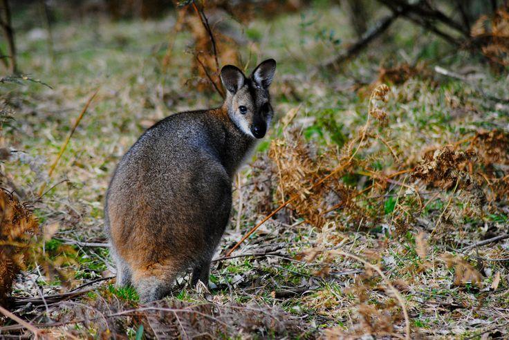 kangaroo in the blue mountains - Australia