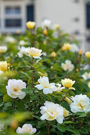 Shrubs that bloom through spring and summer.