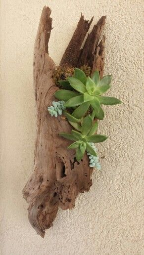 Hollow driftwood that I made into a hanging succulent