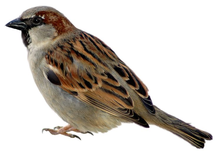 Sparrow PNG Picture Clipart