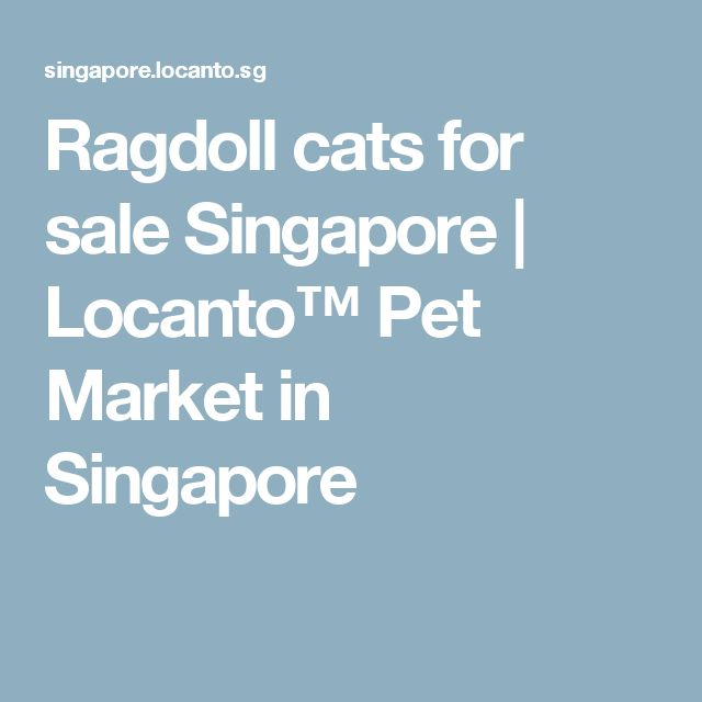 Ragdoll cats for sale Singapore | Locanto™ Pet Market in Singapore