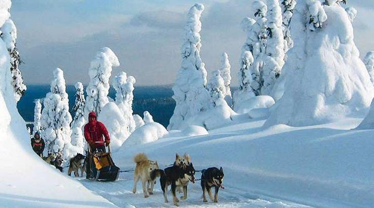 Chiens de traîneau en Laponie