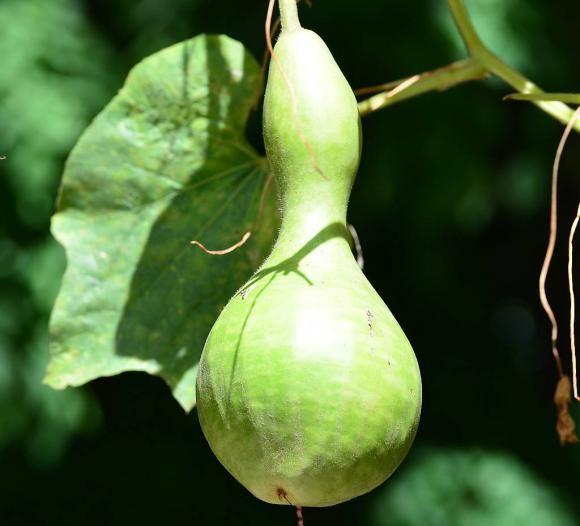 En la actualidad podemos encontrar en el mercado mates de los materiales más diversos. La calabaza: generosa planta que nos da los mejores mates.