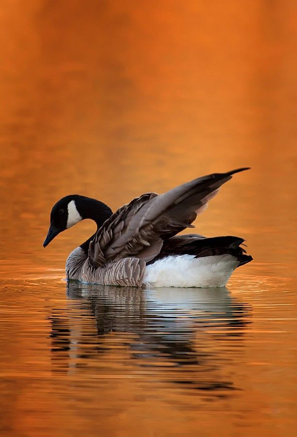 Canada Goose by Vladimir Naumoff on 500px.com