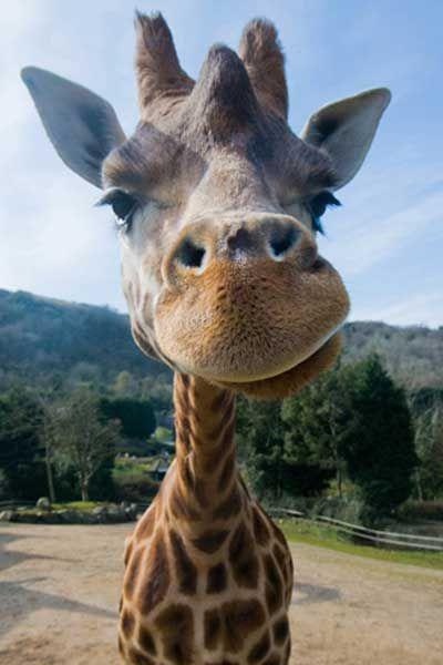 Woo the Giraffe at Belfast Zoo.
