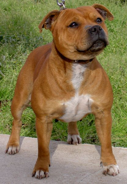 Staffordshire Bully Terrier Colors: Fawn, Brindle, Black, Red, Blue, Black & White