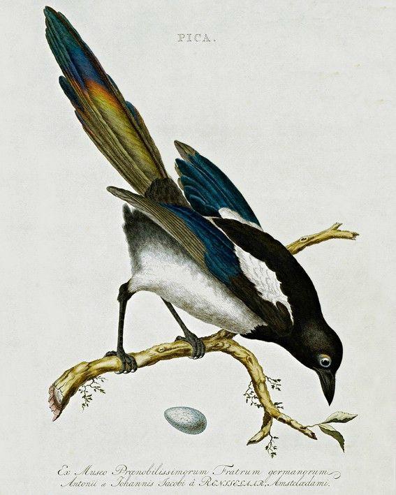 La Pie Bavarde, un oiseau turbulent et malicieux   Jaquette, Agasse, Margot, Jacasse, belle rapineuse, Pica pica… On la dit bavarde, voleuse,rusée et curieuse, montrant de la malice et un certain penchant à la moquerie avec son babillage rauque et malfaisant. Cependant, la Pie est intelligente au moins autant que le corbeau... zimzimcarillon.canalblog.com   Magpie des oiseaux néerlandais décrits par Cornelius Nozeman, et édité par Jan Christiaan Sepp, libraire, 1770.