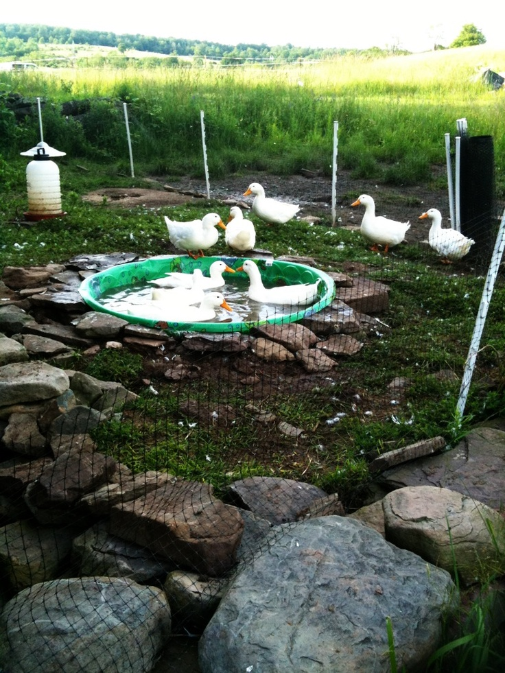 Diy Backyard Duck Pond :  images about Duck pen on Pinterest  Duck Pens, Duck Coop and Ducks