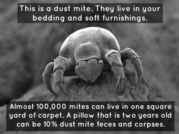 dust mites facts 101 | Allergies? | Pinterest | Dust mites ...