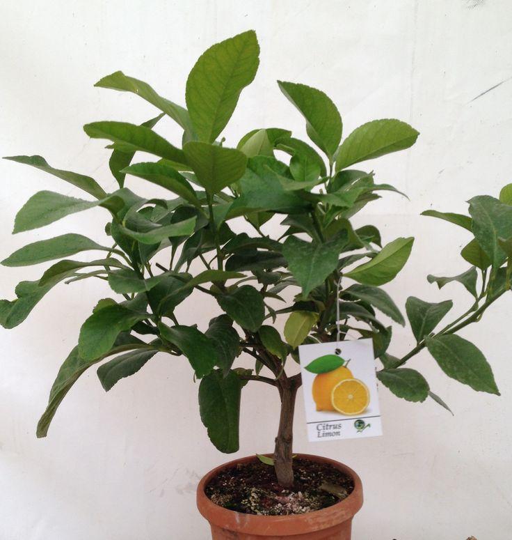 Lemon citrus in fruit, 50cm height, 2ltr decopot
