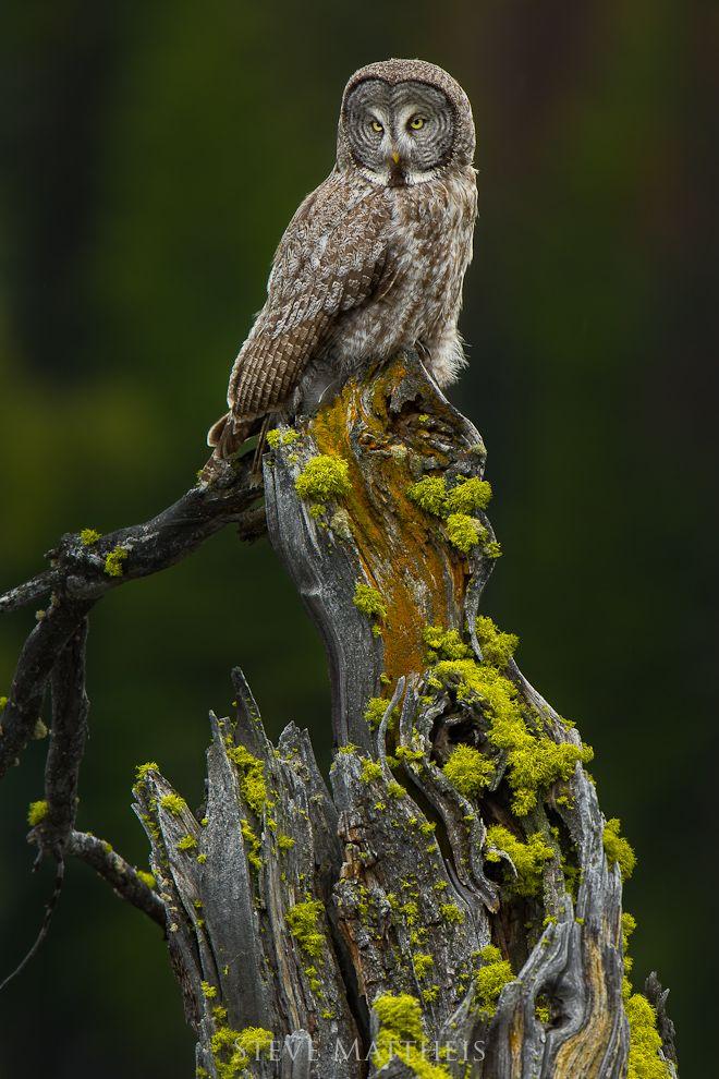Great Gray Owl, photo by Steve Mattheis.