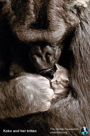 Koko, the gorilla & All Ball, the kitten-koko.org