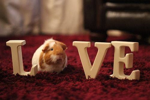 That's right I love guineapigs