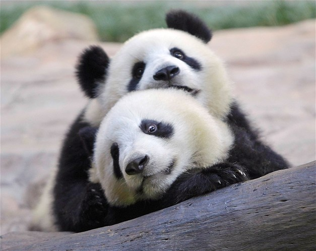 Image: Two giant pandas play with each other at Chimelong Giant Panda Center in Guangzhou Xiangjiang Safari Park (© JASON LEE//Reuters)