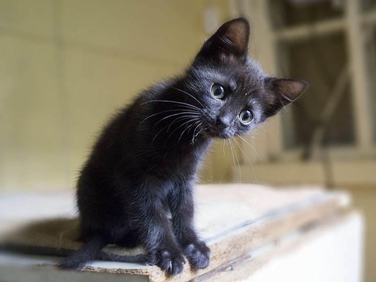 Black kitten. Животные в добрые руки: Черные котята-девочки, миниатюрные пантерки Ника и Молли | Кот в Окошке