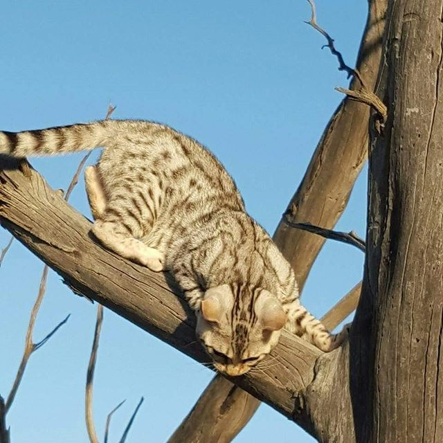 Hunting mode  #cats  #catstagram  #catsofig  #bengalcat  #bengalcatsofinstagram  #bengal  #catlover #wildcats #kitten   #catselfie  #cat #catsrule  #catsagram  #catsforlife  #catsgram  #catslover #catslife #cat  #catoftheday  #catwalk  #catsdaily   #caturday #котик #кот #котэ #whiskas #royalcanin #friskies  #iams #meow #feline