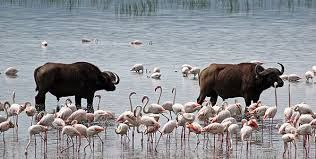 Cape Buffalos and flamingos in lake nakuru national park, see them on a day trip; click here: http://1-day-tours-in-kenya.com/blog/84-nakuru-national-park-2-day-trip.html