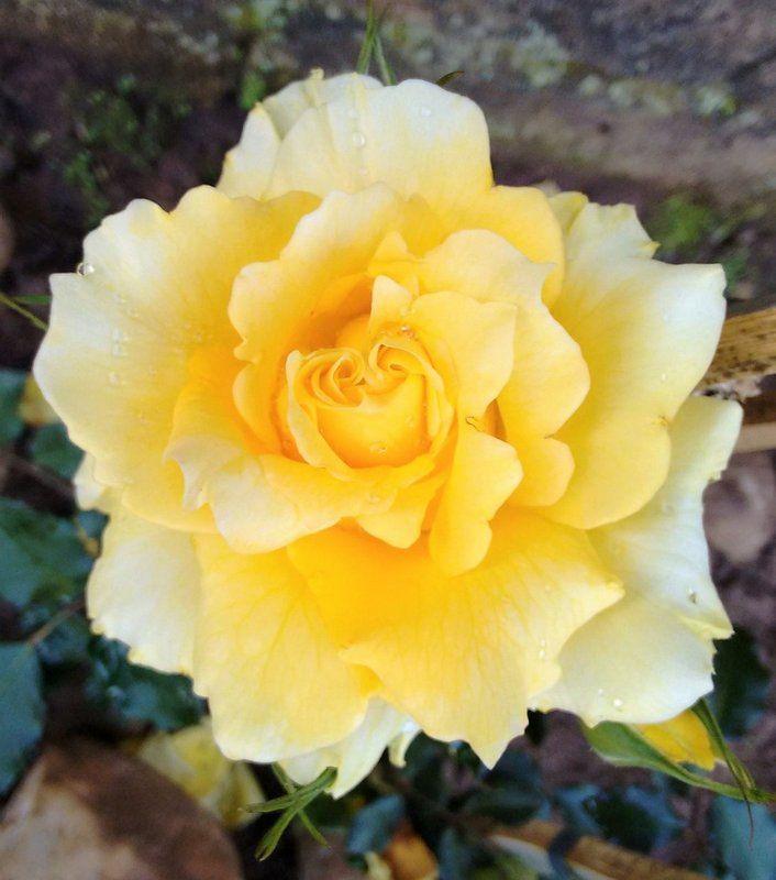 A Rosa Trepadeira Amarelo Golden produz flores GRANDES! Rosas trepadeiras são hibridas que foram desenvolvidas para função de trepadeira. Os galhos são mais flexíveis, mas as características da flor (beleza e perfume) se mantém. Seus ramos chegam a atingir mais de 6m de comprimento e ficam repletos de rosas. Florescem diversas vezes na primavera, verão e outono, dando um intervalo no inverno. Os ramos podem ser conduzidos, podados e moldados em formatos diversos sem nenhum prejuízo à planta…