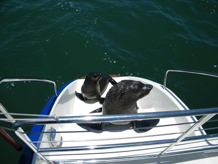 Cape Fur Seal hitching a ride on Catamaran....www.namibiancharters.com