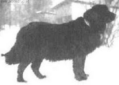 The Russian Newfoundland-Moscow Water Dog, Moscow Diver, Moscow Retriever or Moskovsky Vodolaz, is a little-known dog breed derived from the Newfoundland, Caucasian Ovcharka (Caucasian Shepherd) and East European Shepherd. Now extinct, it was used in the development of the Russian Black Terrier. Developed in Russia in the 1950s and the 1960s. It was initially bred by the Russian army's dog breeders to create a working dog for water rescue. Read more: