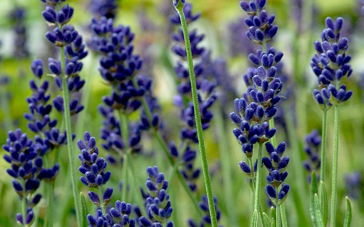 Lavendel 'Hidcote Blue' (Saatgut) schön blau