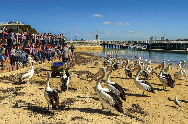 RoyalAuto July 2016. Free family activities in Victoria. Pelicans at San Remo. Photo: Anne Morley #free #victoria #sanremo #beach #pelicans