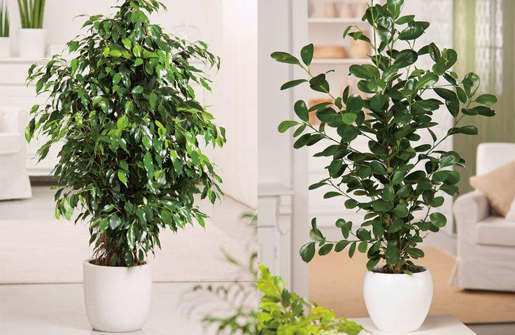 6x grote kamerplanten als blikvanger. #ficus #kamerplant #wonen