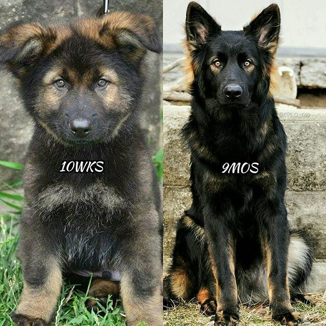 10 Weeks Vs 9 Months Capturingk O Germanshepherd