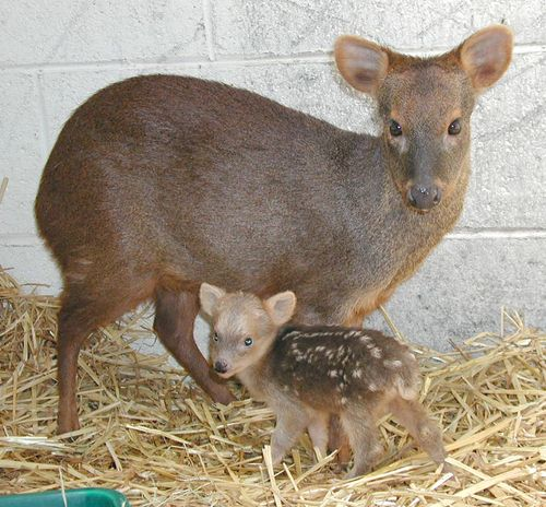 Southern Puda and baby