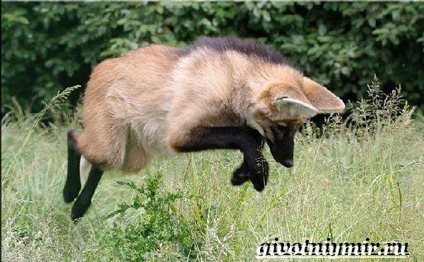 Гривистый-волк-Образ-жизни-и-среда-обитания-гривистого-волка-14