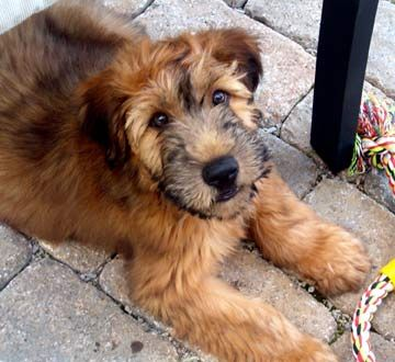 Soft Coated Wheaton terrier. Non shedding, medium sized.