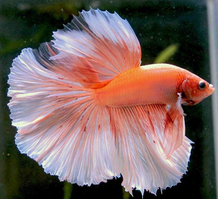 168 best betta fish images on pinterest aquarium fish for Pretty freshwater fish