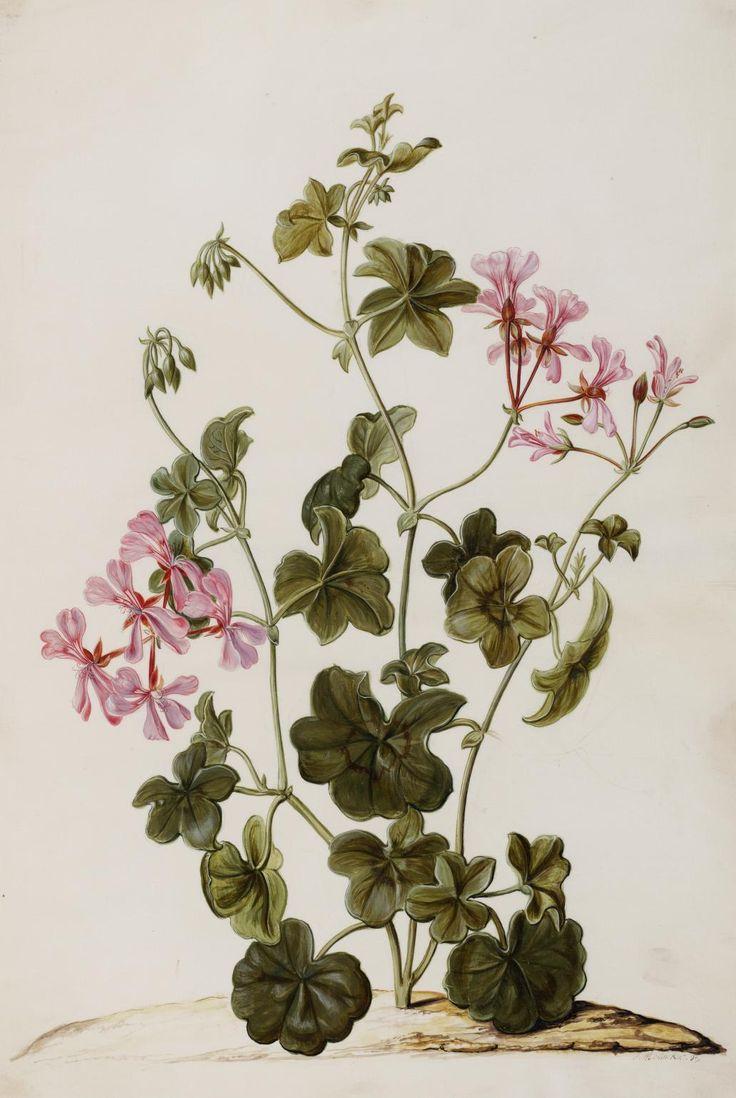 Pelargonium peltatum L. Illustration by Jan Moninckx (1656-1714). Photo by Wikipedia: http://en.wikipedia.org/wiki/Jan_Moninckx