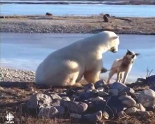 Αuto  Planet Stars: Τι συνέβη όταν μια πολική αρκούδα συνάντησε έναν δ...