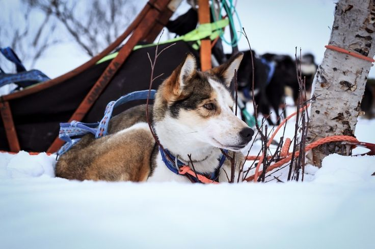 Embark on a husky safari and enjoy the thrill of riding through the snow covered wilderness - Norway http://www.regent-holidays.co.uk/country/norway-holidays/