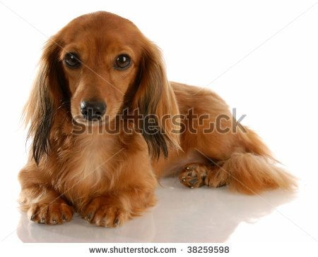 long haired dachshund | Long Haired Miniature Dachshund Laying Down On White Background Stock ...