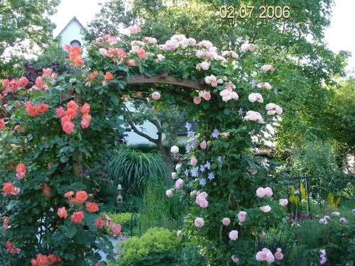 Cute Clerotiker Seite Rund um die Rose Mein sch ner Garten