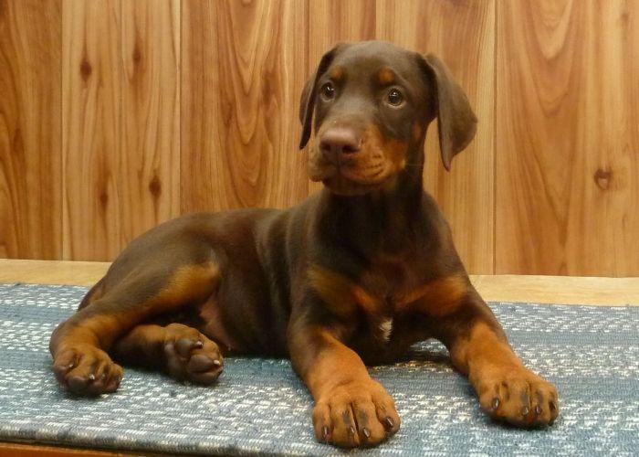 i want a red doberman sooooooo bad. animal love