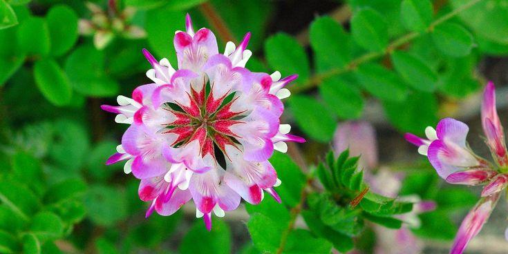 Astragalus sinicus - Поиск в Google